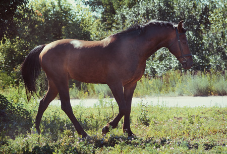 Sport bay horse goes in summer Stockfoto