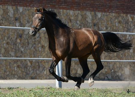Summer bay horse runs gallop on freedom in summer