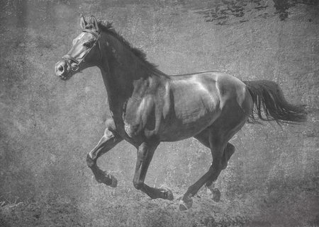The dark sport stallion runs gallop on freedom. In black and white artistic treatment