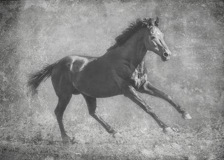 The dark sport stallion runs gallop on freedom. In black and white artistic treatment