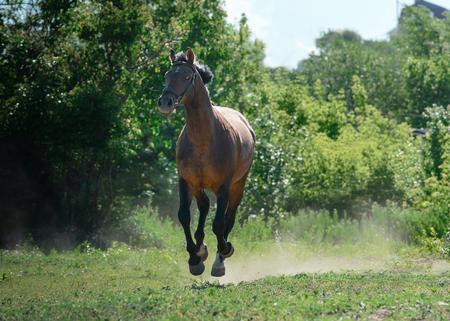 Sport horse runs gallop on freedom in summer