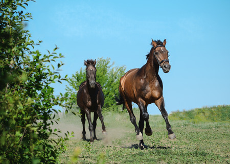 Two sport horses runs gallop on freedom in summer