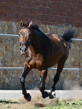 Brown sport horse on gallop in freedom. Front view Standard-Bild