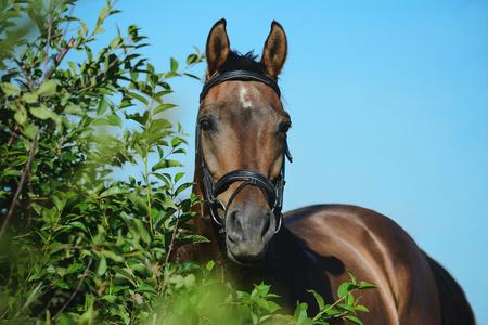 Portrait of a bay horse Standard-Bild