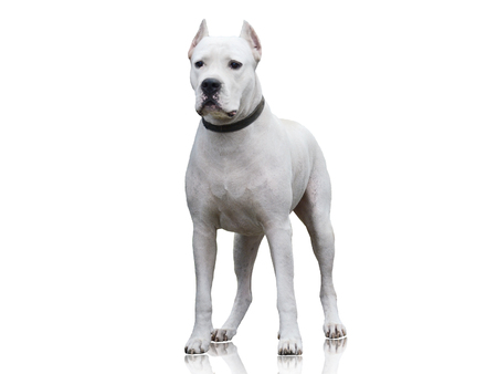 Dogo Argentino stand isolated on white background. Front view Standard-Bild