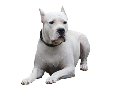 Dogo Argentino lies isolated on white background. Front view