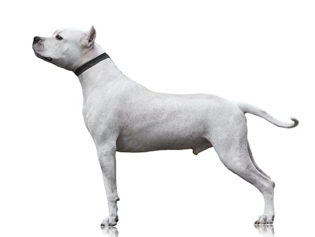 The powerfull Dogo Argentino male stand isolated on white background. side view
