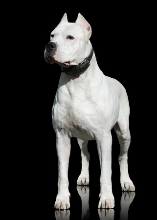 Dogo Argentino male stand isolated on black background. Front view