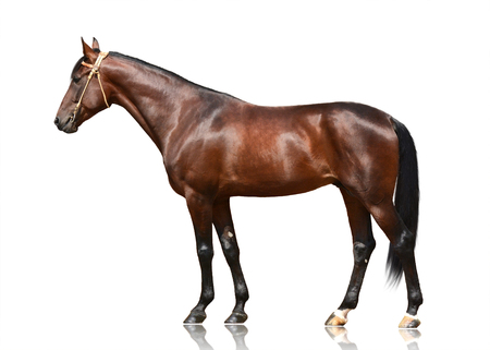 The brown horse trotter breed standing isolated on white background. Side view Standard-Bild