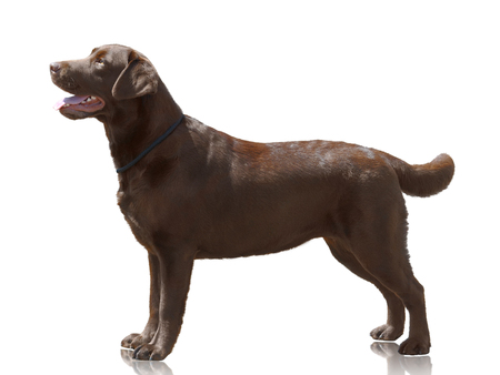 Chocolate color dog Labrador Retriever stand isolated on white background. Side view Standard-Bild