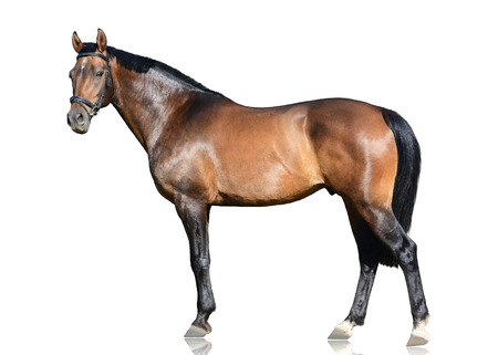 The brown trakehner sport horse standing isolated on white background. Side view Standard-Bild
