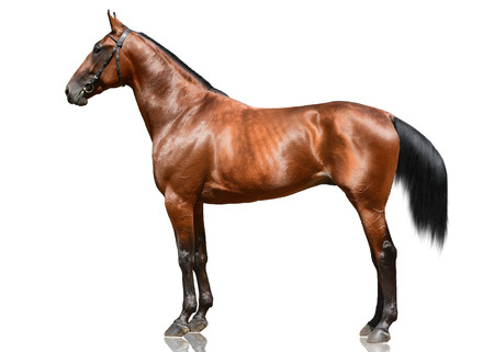 The powerfull bay horse trotter breed standing isolated on white background. Side view Standard-Bild