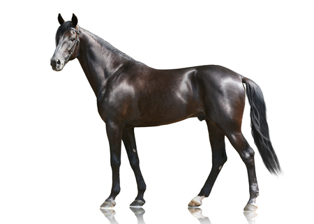 The beautiful black powerfull stallion standing isolated on white background. Side view.