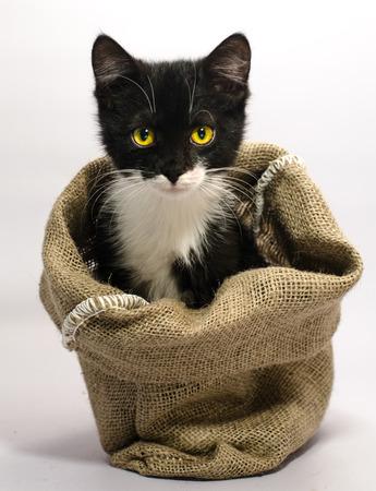 Czarno-biały kot o żółtych oczach wyrzuca pysk z workowego worka Zdjęcie Seryjne