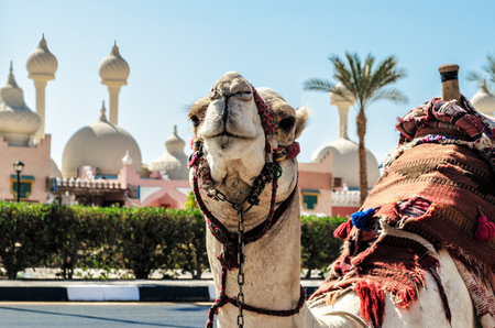A riding camel in a bright blanket on the sunny street of Sharm Stock Photo