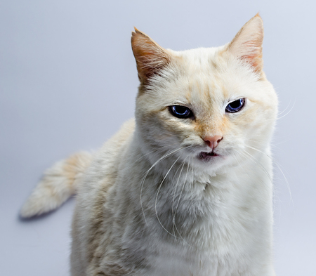 funny brazen light-red cat with blue eyes expresses a feeling of