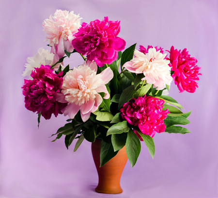 bouquet of nine bright burgundy, tender pink and white peonies in a clay terracotta vase on a soft purple background, postcard, congratulation, illustration