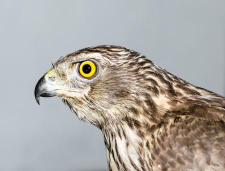 predatory bird hawk with bright yellow eye close-up on a gray ba Фото со стока