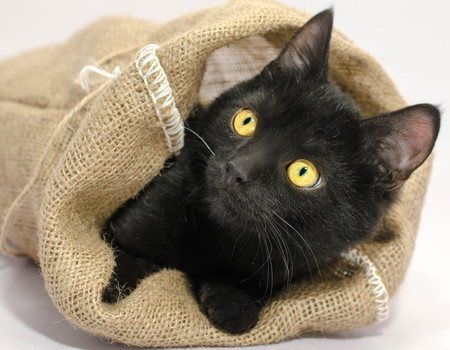 black with bright yellow eyes thrust its muzzle out of a sackcloth bag Stock Photo