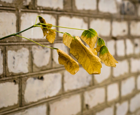 yellowed leaves against a brick wall background