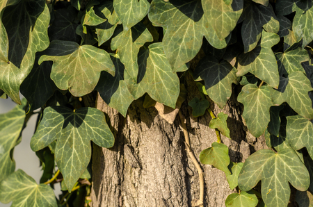 green ivy leaves on a tree close up Stok Fotoğraf