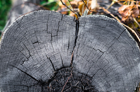 old gray wooden stump close up