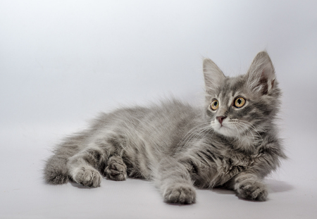 grey yellow-eyed striped kitten lies on a light background  look Stock Photo