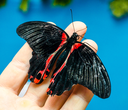 black-red big butterfly sits spread its wings on a human open pa Stock Photo