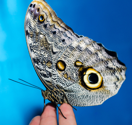 silvery-yellow butterfly sits folding its wings on a human open