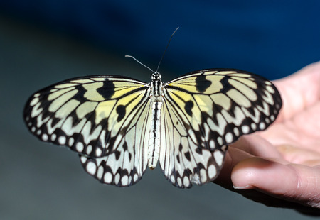 silvery-yellow big butterfly sits spread its wings on a human op Stock Photo