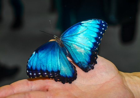 large blue butterfly spread its wings sitting on the open palm