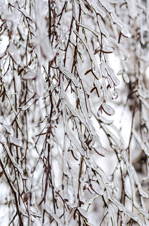 birch branches in the  ice 스톡 콘텐츠
