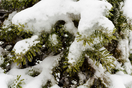 green fir branches in white snow and ice