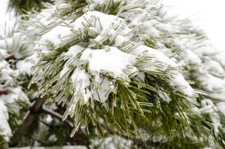 green pine branches in white snow and ice Фото со стока
