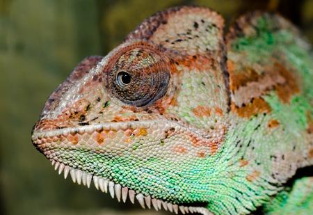 head of an adult large color chameleon close up Banco de Imagens