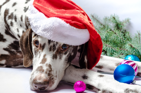 spotted Dalmatian dog in a New Year Christmas hat against a white background next to a fir branch and festive toys with glass balls 스톡 콘텐츠