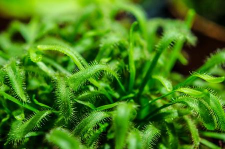 prey plant sundew closeup
