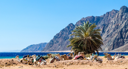 seascape with a caravan lying camels in Egypt Dahab South Sinai