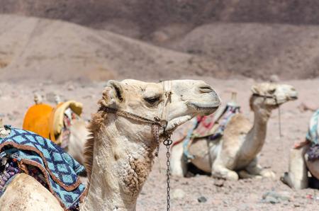 caravan of camels in rocky desert of Egypt Dahab South Sinai