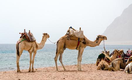 caravan lying camels in Egypt Dahab South Sinai