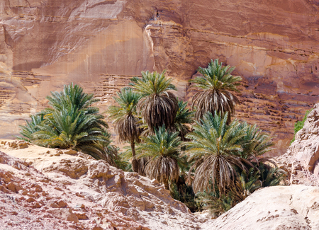 green palm trees in an oasis in the desert against the backdrop of rocks in Egypt Dahab