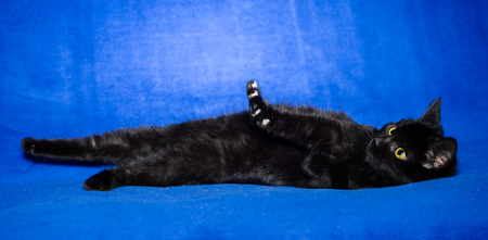 black shorthair cat plays on a blue background Imagens