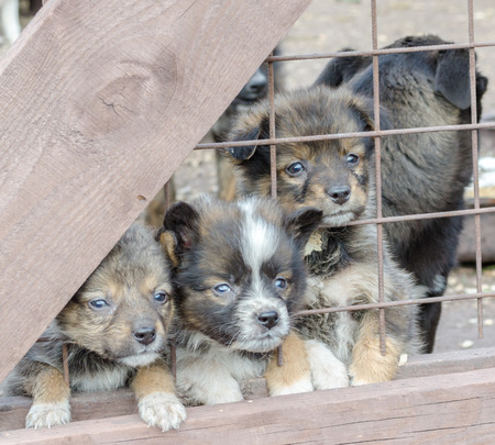 three sad mongrel puppies in a wooden cage