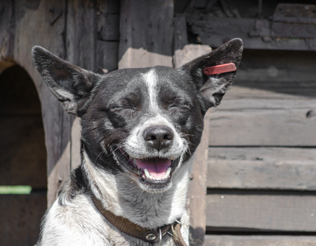 black and white happy dog smiling on the background of a wooden booth