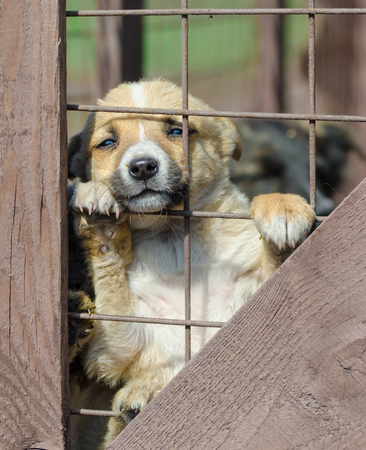 purebred little beige puppy in a wooden cage Banque d'images