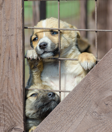 purebred little beige puppy in a wooden cage 写真素材