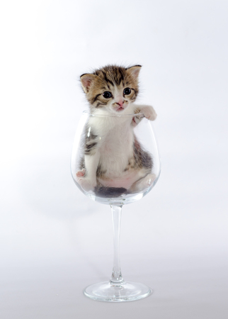 tabby color kitten sitting in a big wine glass