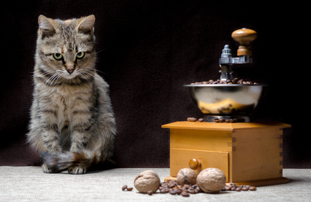 offended tabby color kitten sits near a manual coffee grinder and coffee grains Stockfoto