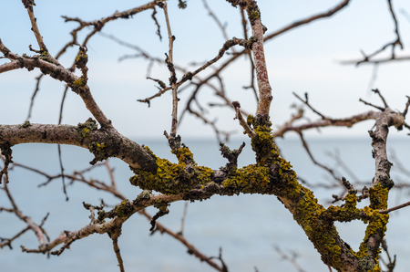 branch of an old dead tree covered with green lichen