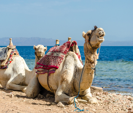 two camels on coast of sea in Egypt Dahab South Sinai